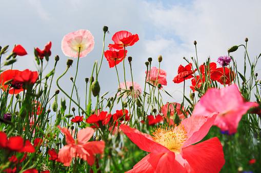Flower Head「blooming poppy plants silhouetted against sky」:スマホ壁紙(4)