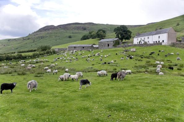 Sheep「Lake Derwentwater, Lake District, England」:写真・画像(18)[壁紙.com]