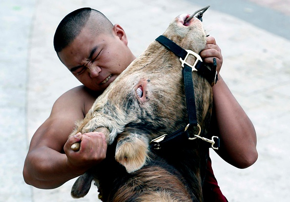 Bull - Animal「Bull Fighting In Jiaxing」:写真・画像(1)[壁紙.com]