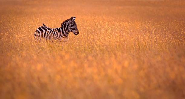 Zebra in the grass:スマホ壁紙(壁紙.com)