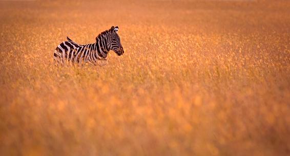Focus On Background「Zebra in the grass」:スマホ壁紙(2)