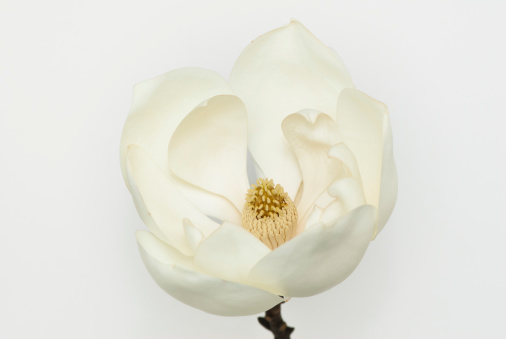 Magnolia「Magnolia Grandiflora」:スマホ壁紙(16)