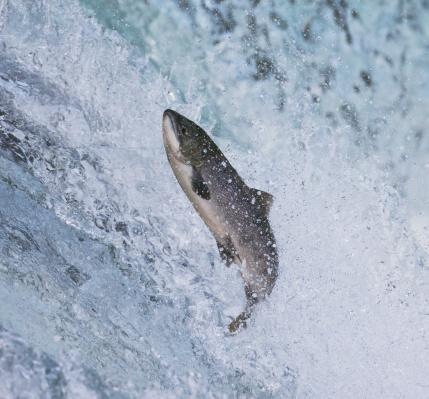 Effort「Salmon jumping over Brooks Falls」:スマホ壁紙(19)