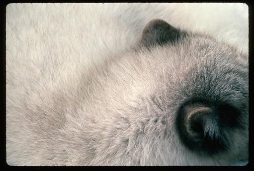 Arctic Fox「Ears of an Arctic Fox」:スマホ壁紙(1)