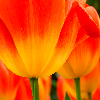 Keukenhof Gardens「Tulip's Petals」:スマホ壁紙(17)