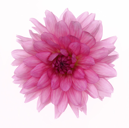 In The Center「Pink Dahlia Rosella in close-up on white.」:スマホ壁紙(12)