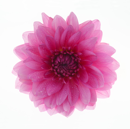 flower「Pink dahlia with water drops in close up, on white」:スマホ壁紙(0)