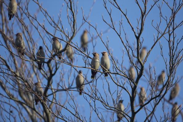 Tree「Migrating Waxwings Arrive In The UK From Scandinavia」:写真・画像(14)[壁紙.com]