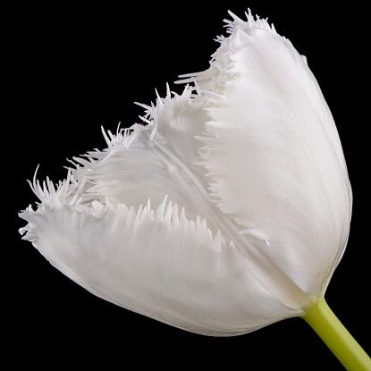 Bangs「Fringed white tulip in front of black background」:スマホ壁紙(10)