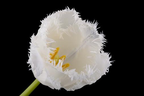 Bangs「Fringed white tulip in front of black background」:スマホ壁紙(11)