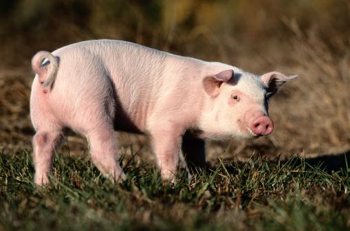 草食性「Piglet in a Field」:スマホ壁紙(11)