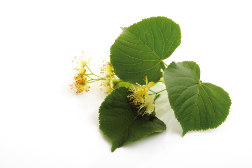 Flower Head「'Lime blossoms and leaves, close-up'」:スマホ壁紙(13)