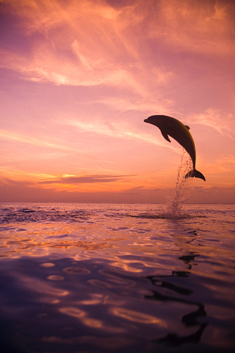 Central America「Jumping Bottlenose Dolphin」:スマホ壁紙(2)