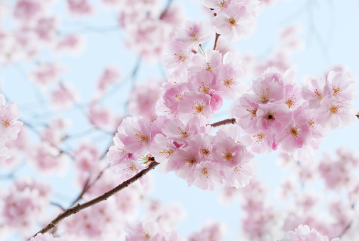 Cherry Blossoms「Artistic shot of cherry blossom, with blurred background」:スマホ壁紙(6)