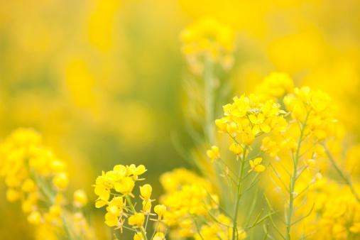 アブラナ「明るい菜種の花」:スマホ壁紙(8)