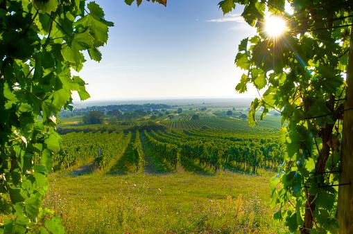 Austria「Framed Vineyard in very early morning sun」:スマホ壁紙(9)