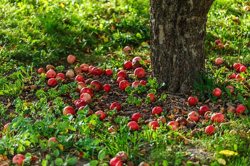 Low Section「Ripe apples under a tree, Stockholm, Sweden」:スマホ壁紙(15)