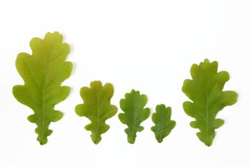 Oak Leaf「Five oak leaves, against white background, close-up」:スマホ壁紙(15)