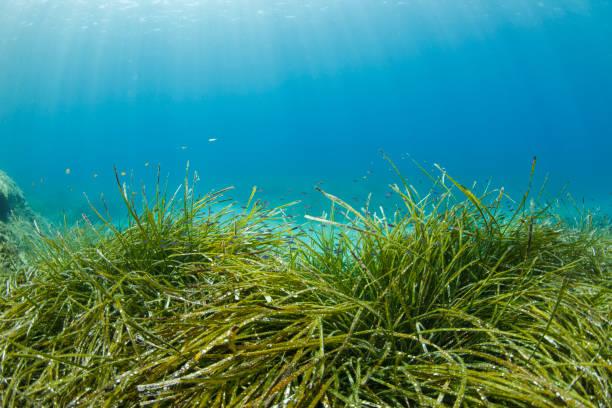 Seagrasses Underwater Sea life   Scuba diver point of view  Sea grass Posidoniaceae:スマホ壁紙(壁紙.com)