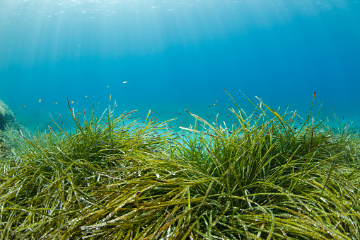 Grass Family「Seagrasses Underwater Sea life   Scuba diver point of view  Sea grass Posidoniaceae」:スマホ壁紙(2)