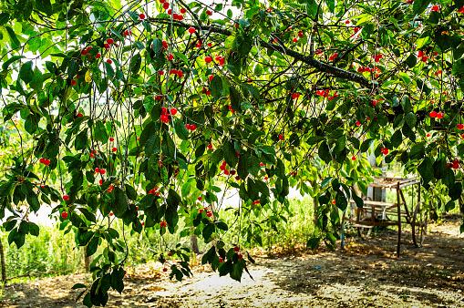 サクランボ「Cherry orchard in a small village in France」:スマホ壁紙(12)
