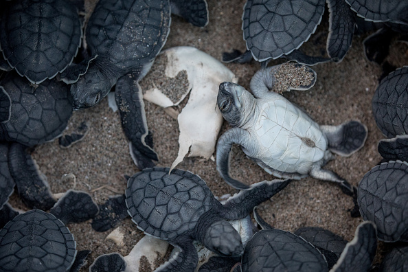Environmental Issues「Conservation Efforts Continue To Help Stabilize Turkey's Green Turtle Population」:写真・画像(8)[壁紙.com]