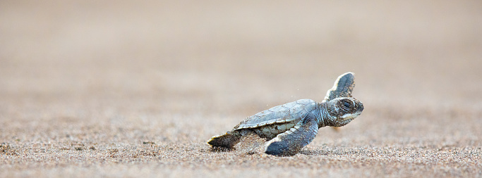 Sea Turtle「A baby green sea turtle scurries across the beach to get to the safety of the ocean」:スマホ壁紙(19)