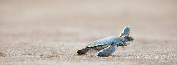 A baby green sea turtle scurries across the beach to get to the safety of the ocean:スマホ壁紙(壁紙.com)