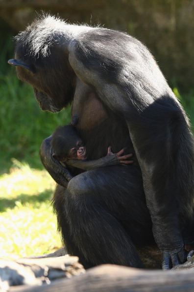 動物「Taronga Zoo Reveals New Chimpanzee Baby」:写真・画像(10)[壁紙.com]