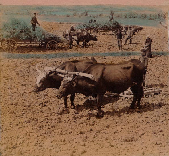 Ox Cart「Thrifty Country-Folk With Their Cattle At Work On A Farm Near Jonkoping Sweden 1905」:写真・画像(10)[壁紙.com]