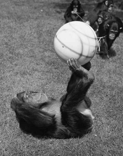 Soccer - Sport「Chimps' Football」:写真・画像(13)[壁紙.com]