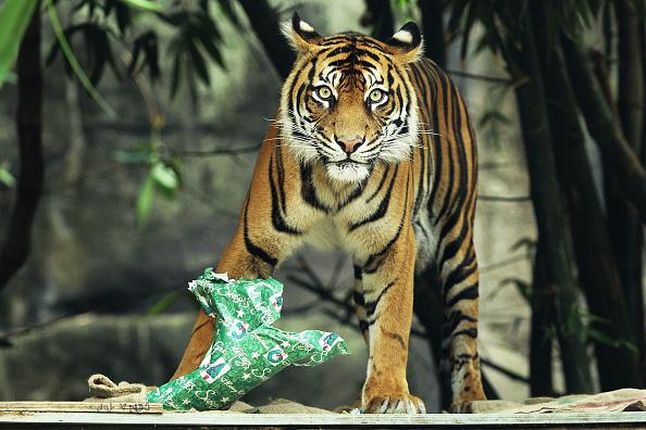 Big Cat「Zoo Animals Receive Christmas Treats」:写真・画像(5)[壁紙.com]