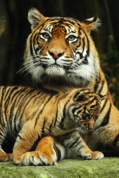 動物「Tiger Triplets Debut At Taronga Zoo」:写真・画像(0)[壁紙.com]
