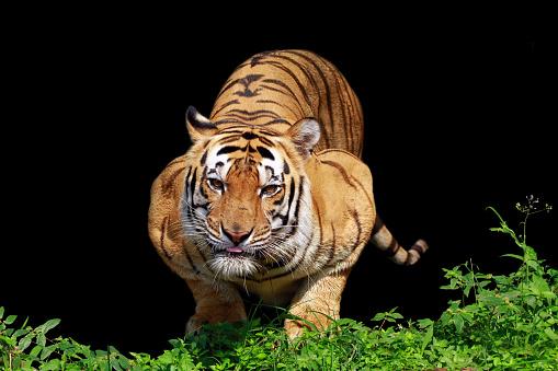 Pouncing「A Sumatran Tiger ready to pounce, Indonesia」:スマホ壁紙(4)
