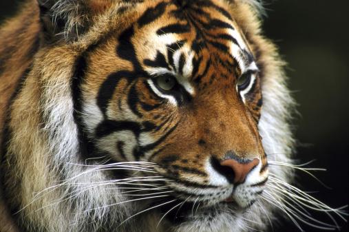虎「sumatran tiger panthera tigris sumatrae norfolk, u.k.」:スマホ壁紙(16)