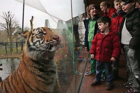 Big Cat「London Zoo's Annual Animal Stocktake」:写真・画像(19)[壁紙.com]
