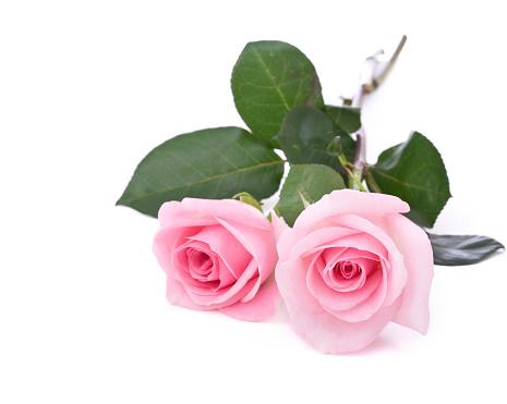 薔薇「絶縁ローズ(XL)」:スマホ壁紙(10)