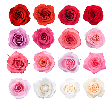 Pink Color「Isolated Rose Blossoms」:スマホ壁紙(8)