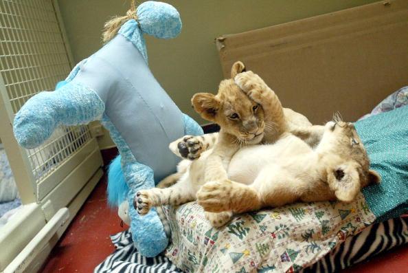 Animal Whisker「Eleven-Week-Old Lion Cubs At The San Francisco Zoo」:写真・画像(19)[壁紙.com]