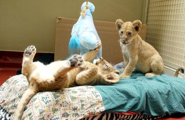 Animal Whisker「Eleven-Week-Old Lion Cubs At The San Francisco Zoo」:写真・画像(2)[壁紙.com]