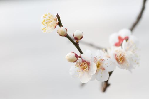 梅の花「Bud and flower of plum tree」:スマホ壁紙(17)