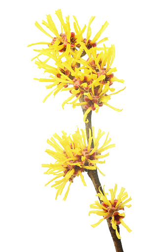 Branch - Plant Part「Yellow witch hazel on a white background」:スマホ壁紙(2)