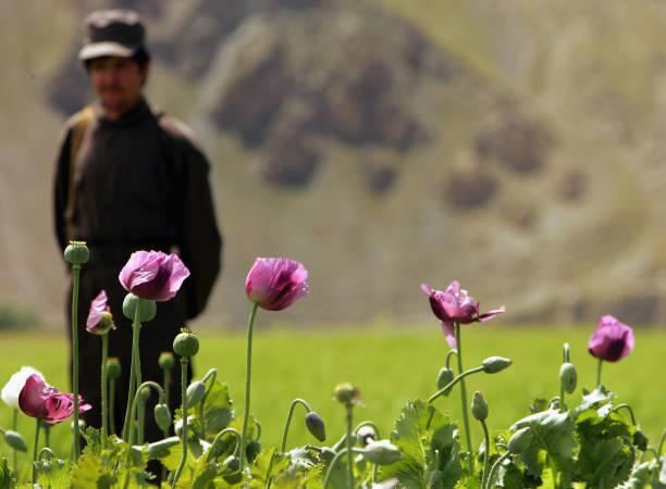 Poppy Growth Rate in Badakhshan Region is Down:ニュース(壁紙.com)