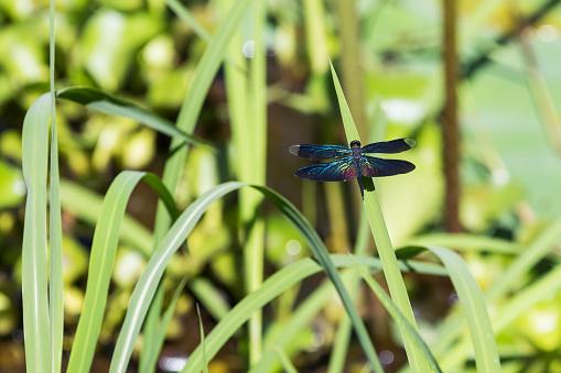 とんぼ「Dragonfly, Beng Meala」:スマホ壁紙(9)