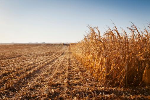 Harvesting「USA, Iowa, Latimer, Partly harvester corn field」:スマホ壁紙(15)