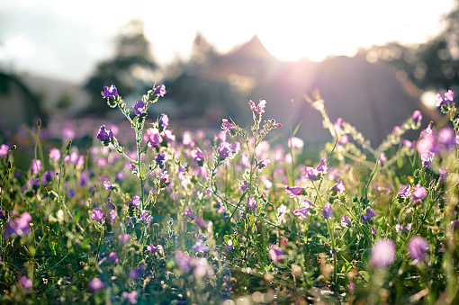 Uncultivated「Field of purple flowers with tents in background」:スマホ壁紙(8)