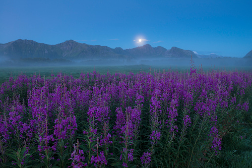 Moon「Field of purple flowers in foggy weather at twilight, Gimsoy, Lofoten, Norway」:スマホ壁紙(1)
