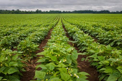Bush Bean「USA, Oregon, Marion County, Field of green beans blooming」:スマホ壁紙(3)