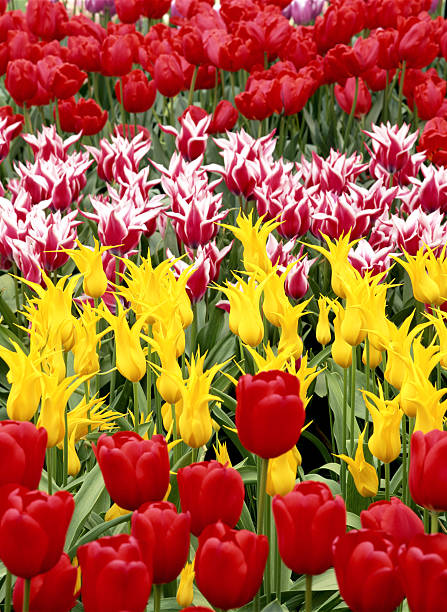 Tulips in garden:スマホ壁紙(壁紙.com)