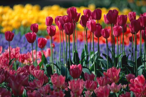 Keukenhof Gardens「Tulips (tulipa sp) in garden」:スマホ壁紙(12)